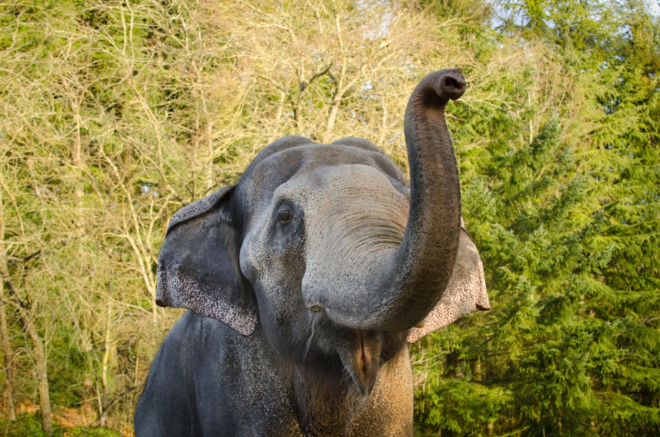 Packy, a bull Asian elephant, as he approaches his 50th birthday at the Oregon Zoo. © Oregon Zoo / photo by Michael Durham