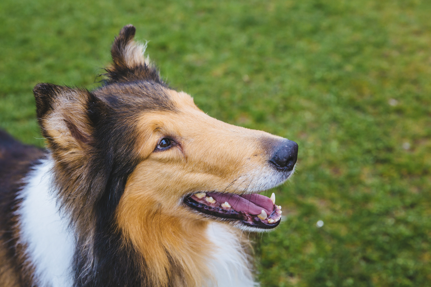 This is D'Argo! D'Argo is a six-year-old Rough Collie who has been a show dog his whole gosh darn life! D'Argo has being training in agility, obedience, rally, treibball, herding, tricks, stunt dog, lure coursing and more since he was one years old. You can find this sweet pup giving demonstrations of agility tricks and is a frequenter of events like the Furry 5K. He's a happy dog who is willing to try new things. D'Argo likes a good stinky shoe and his younger sister. He dislikes shiny floors. you can follow D'Argo on Facebook (@agiledogfun), twitter (@DargoDog), and Instagram (@agile_dog).{ }The Seattle RUFFined Spotlight is a weekly profile of local pets living and loving life in the PNW. If you or someone you know has a pet you'd like featured, email us at hello@seattlerefined.com or tag #SeattleRUFFined and your furbaby could be the next spotlighted! (Image: Sunita Martini / Seattle Refined).
