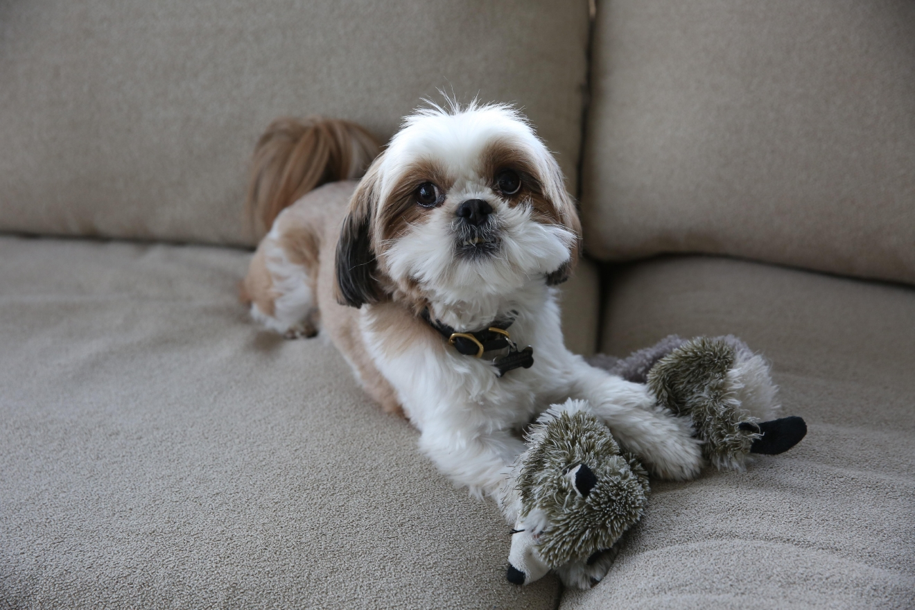 Meet Duncan, a six-year-old Shih Tzu who is a total travel pro! His mama doesn't particularly love flying, so he is truly a calming presence. He sits on her lap and just stares out the window the whole flight -- it's just a bonus that he is super soft and snuggly. Duncan strongly dislikes rain, snow or precipitation of any kind for that matter. He loves playing with his toy panda, walks in the park and laying in a single ray of sunshine. When Duncan was a tiny puppy (he was only two pounds when his mom got him and he fit in her hand!) he jumped right on a raft in the pool -- he doesn't like swimming so he couldn't get off and ended up just chilling in the pool with his people.  If you or someone you know has a pet you'd like featured, email us at dcrefined@gmail.com or tag #DCRUFFined and your furbaby could be the next spotlighted! (Image: Amanda Andrade-Rhoades/ DC Refined)