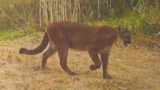 Video: Mountain lion crashes through window, lands on sleeping woman
