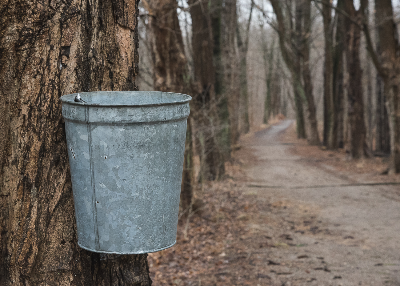 Trees are tapped and buckets are hung to collect the liquid sap along the trial. / Image: Phil Armstrong, Cincinnati Refined // Published: 2.17.18<p></p>