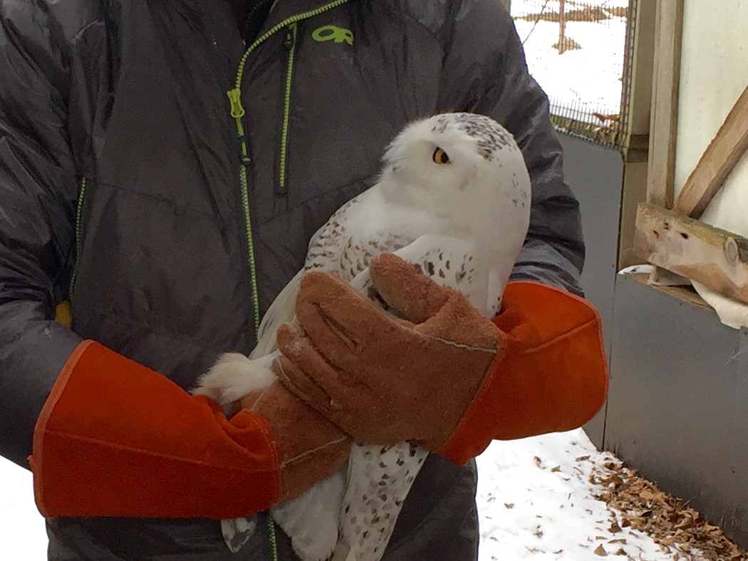 A snowy owl with Don Baumgartner of The Feather Wildlife Rehab Center in New London, December 29, 2017. (WLUK/Eric Peterson)