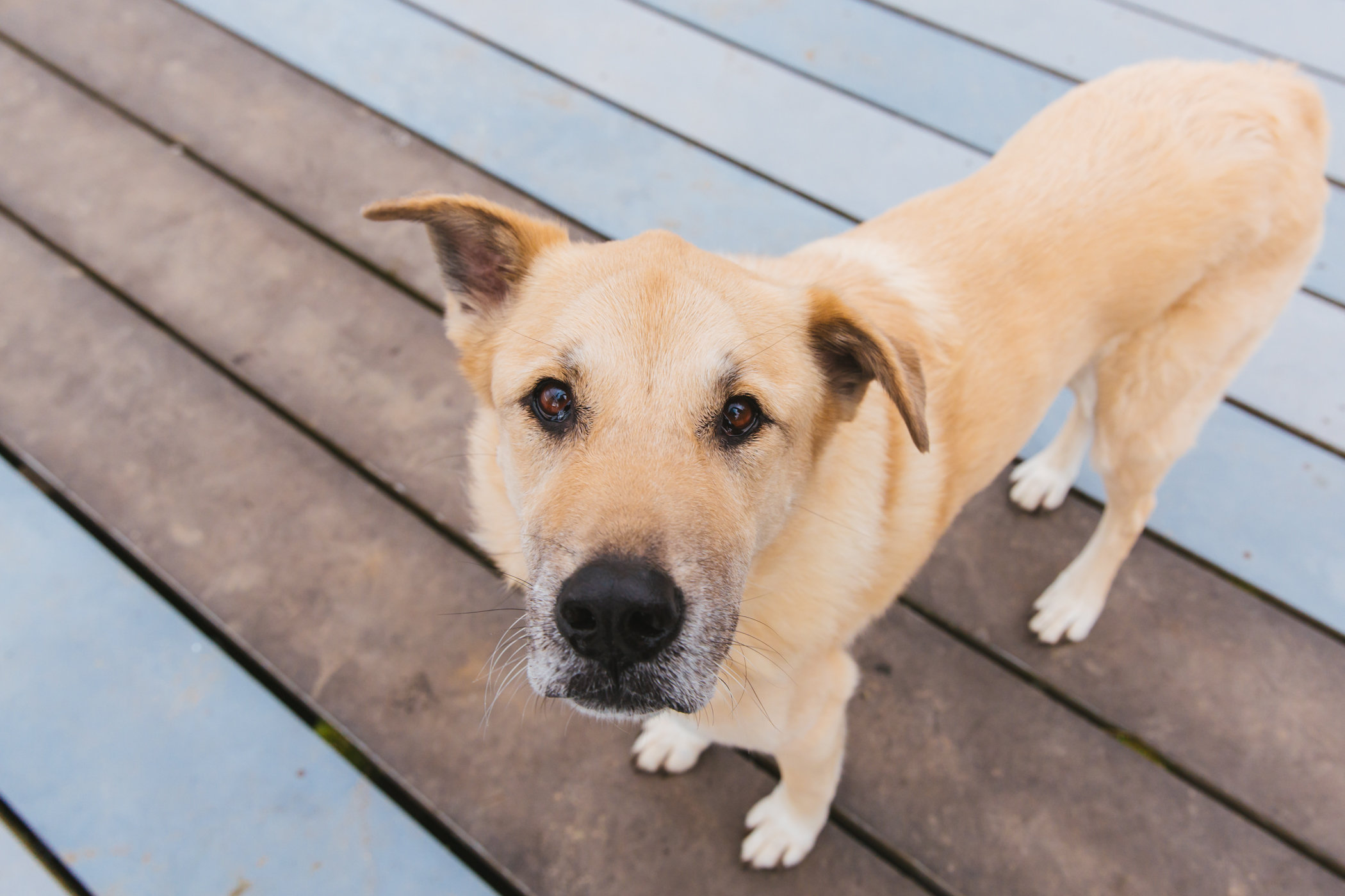 "<p>Tanner is an 11.5 Shepard/Lab/Chow mix who lives in Bothell and has, as his owners say ""a very distinct personality."" He loves going on walks and chewing sticks, and hates the sound of the answering machine.{&nbsp;} You can follow him on IG at{&nbsp;}@<a  href=""https://www.instagram.com/tannerstales/"" target=""_blank"" title=""https://www.instagram.com/tannerstales/"">tannerstales</a>.{&nbsp;}{&nbsp;}<a  href=""http://seattlerefined.com/ruffined"" target=""_blank"" title=""http://seattlerefined.com/ruffined"">The RUFFined Spotlight</a>{&nbsp;}is a weekly profile of local pets living and loving life in the PNW. If you or someone you know has a pet you'd like featured, email us at{&nbsp;}<a  href=""mailto:hello@seattlerefined.com"" target=""_blank"" title=""mailto:hello@seattlerefined.com"">hello@seattlerefined.com</a>, and your furbaby could be the next spotlighted! (Image: Sunita Martini / Seattle Refined)</p>"