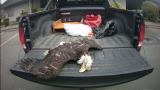 Bald eagle found dead with its talons cut off in Oregon