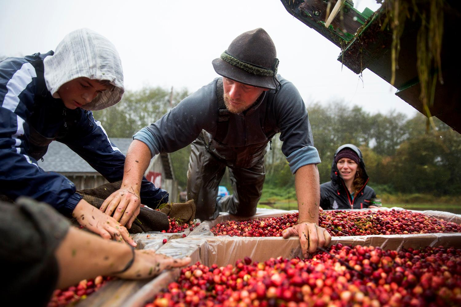 Jared Oakes, co-owner of Starvation Alley Farms, pushes stray cranberries into their boxes after harvesting the second bog of the day in Long Beach. Although the yield of organic cranberry bogs are lower than conventional farming, the company reduced it's synthetic chemical footpring by 100 pounds per square acre or bog a year. (Sy Bean / Seattle Refined)