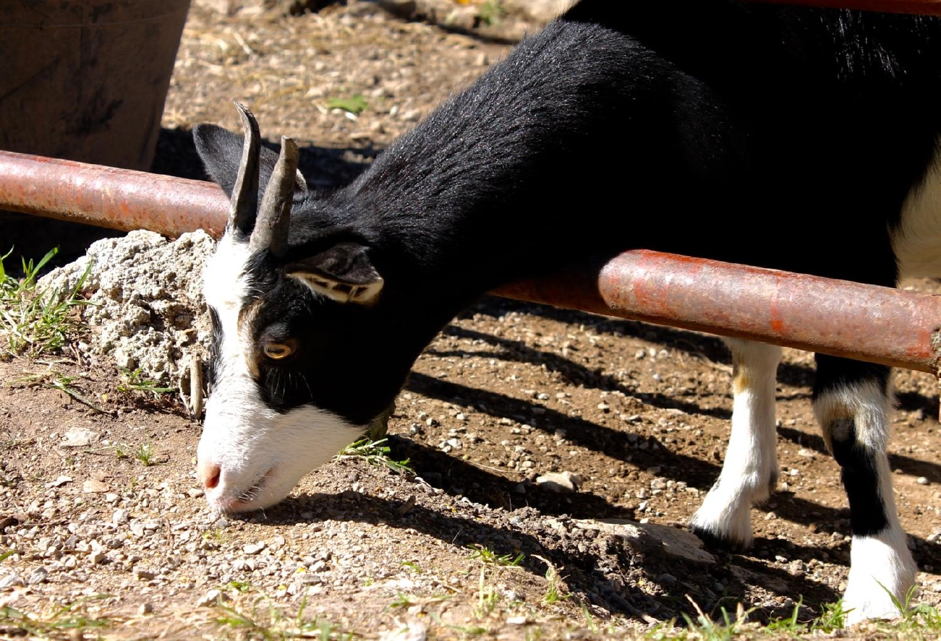 The origin of the Fainting Goat's name comes from the fact that they freeze their muscles for roughly 3 seconds when they feel panic (which is painless), causing it to fall over. This is caused by a hereditary genetic disorder. Goats are also the oldest domesticated species. / Image: Rose Brewington